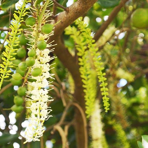 花を求めて旅する巣箱<br> 冬のみつばちたちは<br>マカダミアナッツ畑へ