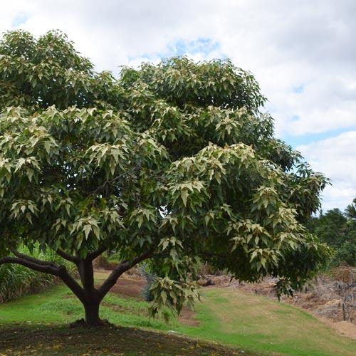 ザ・オールマイティ!<br>ハワイ州の木<br>ククイツリーの秘密