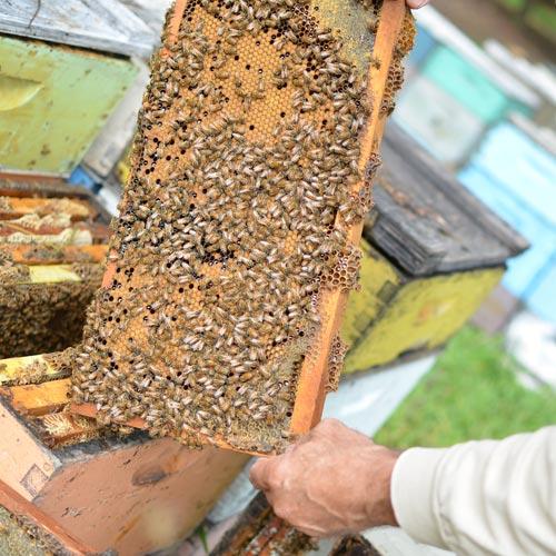 働き蜂は全員メス<br>まったく働かないオス<br>みつばち社会の序列とは