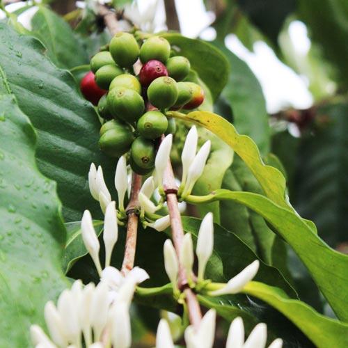 ハンドピックか、<br>マシンによる収穫か。<br>コーヒー産業を考える