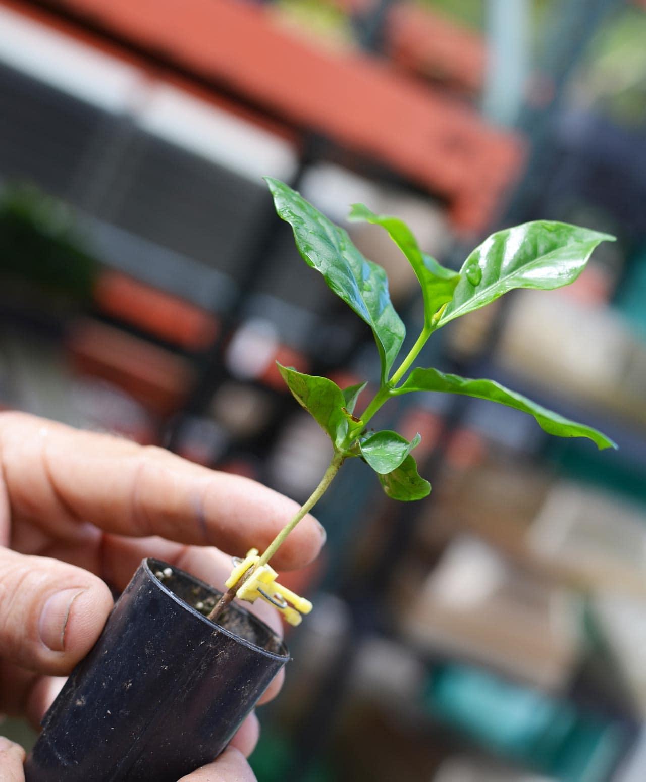 コナコーヒーを元気に育てる秘密「強い根、うまい実」
