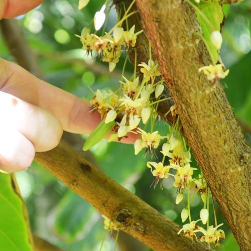蚊がいなくなったら<br>消えるチョコレート?<br>カカオツリーの秘密