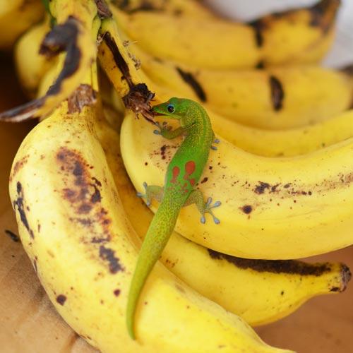 ハワイのご先祖様は<br>動物の姿でやって来る!<br>「アウマクア」のお話