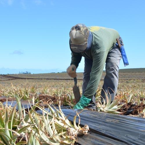 最初に何を植え付ける?<br>マウイの畑で目撃した<br>パイナップルの真実