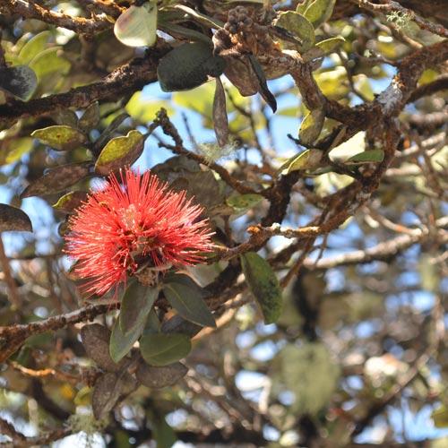 歩けば外来種にあたる?<br>ハワイを形成する<br>植物の移住者たち