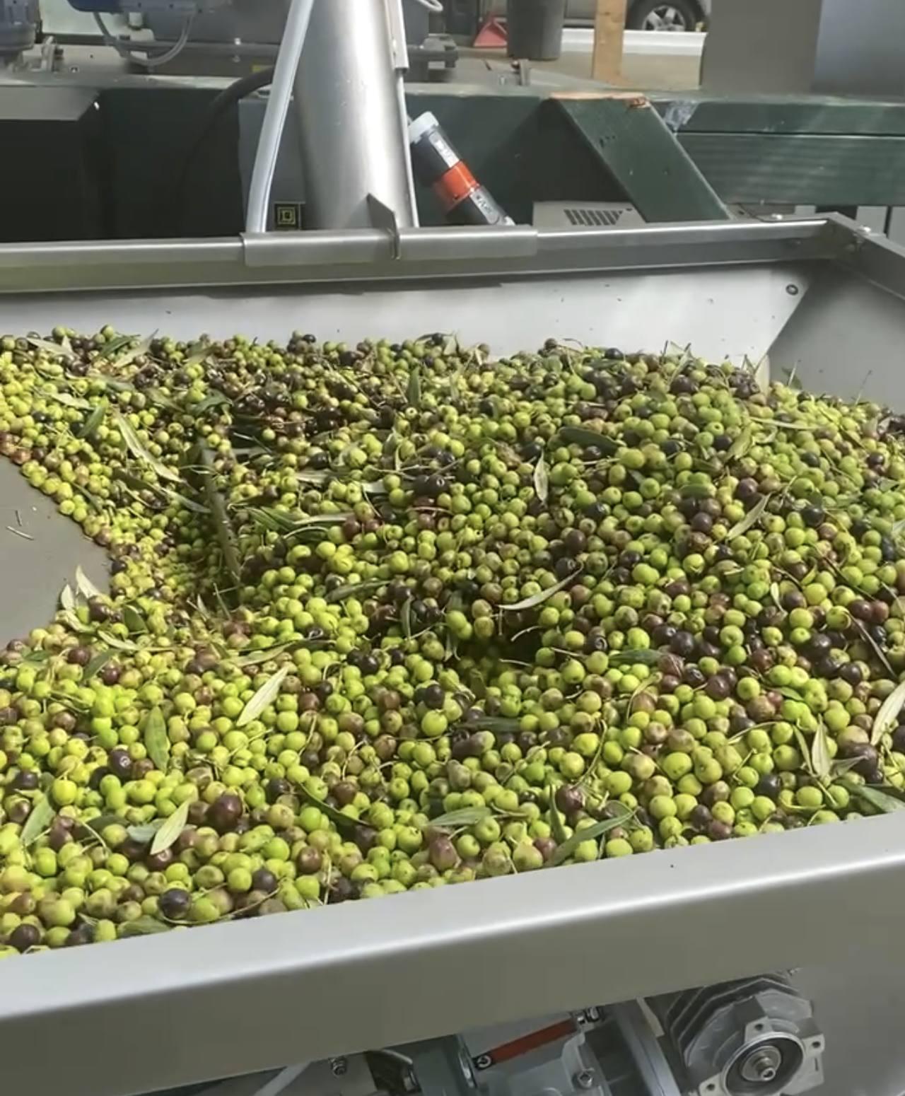 ハワイ産オリーブの実収穫からオイルになるその製造工程とは?